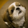 Shih Tzu, 1 year, Brown and White