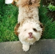 Shih Tzu, 2, Tan and White