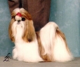 Shih Tzu, Unknown, Beige and White