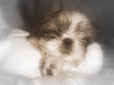 Shih Tzu, Unknown, Brown and White