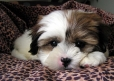 Shih Tzu, Unknown, White
