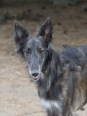 Silken Windhound, 1 year, gray