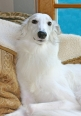 Silken Windhound, 2 years, White