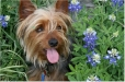 Silky Terrier, 10 months, Grey, Brown