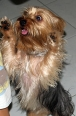 Silky Terrier, 11 months, Brown