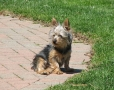 Silky Terrier, 2 years, Brown
