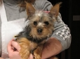 Silky Terrier, 4 months, Brown