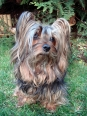 Silky Terrier, 4 years, Brown