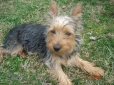 Silky Terrier, 7 months, blk and tan and silver
