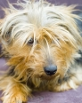 Silky Terrier, 8 months, Brown