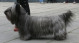 Skye Terrier, 2 years, Black