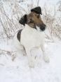 Smooth Fox Terrier, 9 months, brown and white