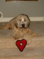 Soft Coated Wheaten Terrier, 1, Wheat