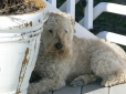 Soft Coated Wheaten Terrier, 1.5 years, Cream