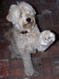 Soft Coated Wheaten Terrier, 11 months, Cream