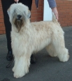 Soft Coated Wheaten Terrier, 2 years, Cream