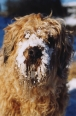 Soft Coated Wheaten Terrier, 3 years, Cream
