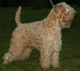 Soft Coated Wheaten Terrier, 3 years, wheaten