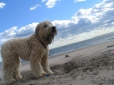 Soft Coated Wheaten Terrier, 5 months, Cream