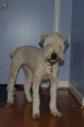 Soft Coated Wheaten Terrier, 6 months, Cream