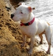 Staffordshire Bull Terrier, 1 year, White