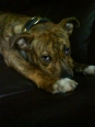 Staffordshire Bull Terrier, 1, red brindle