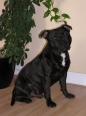 Staffordshire Bull Terrier, 1.5 years, Black