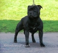 Staffordshire Bull Terrier, 2, black