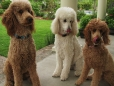 Standard Poodle, 1 year, Brown and White