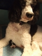 Standard Poodle, 2 years, black & white parti