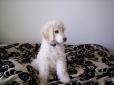 Standard Poodle, 4 months, White