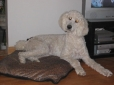 Standard Poodle, 4 years, White