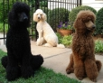 Standard Poodle, 5 years, Black, White, Red
