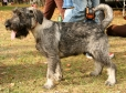 Standard Schnauzer, 1.5 years, Gray