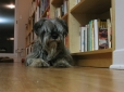 Standard Schnauzer, 2 years, Gray