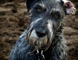 Standard Schnauzer, 3 years, gray