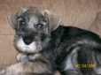 Standard Schnauzer, 8 weeks old, Pepper and Salt