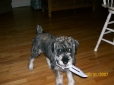Standard Schnauzer, at 5 months, Pepper and Salt