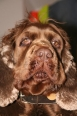 Sussex Spaniel, 2 years, brown