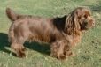 Sussex Spaniel, 5 months, brown