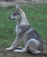 Tamaskan Dog, 0, grey