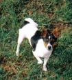 Tenterfield Terrier, 2years, TRI