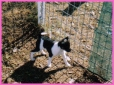 Tenterfield Terrier, 8 weeks, TRI
