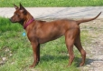 Thai Ridgeback, 1 year, Brown