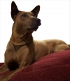 Thai Ridgeback, 3 years, red
