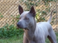 Thai Ridgeback, 4years, blue