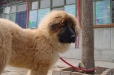Tibetan Mastiff, 2 months, Brown