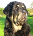 Tibetan Mastiff, 9 months, Black and tan