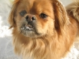 Tibetan Spaniel, 1 year, Brown Cream