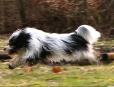 Tibetan Terrier, 1 year, Black and White